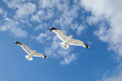 Sea Gulls in the blue sky Stock Photo