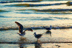 Sea gulls on coast Royalty Free Stock Images