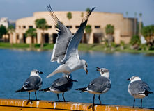 Sea gulls on college campus royalty free stock photo