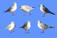 Sea-gulls in different poses. With paths selections without background and environment Stock Image