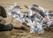 Sea Gulls Eating Afterbirth from Elephant Seal royalty free stock photography
