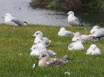 Sea Gulls At Edge Of Lake Royalty Free Stock Photography