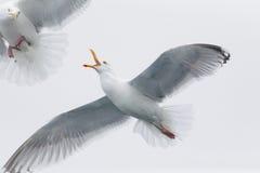 Sea gulls fighting Royalty Free Stock Photos