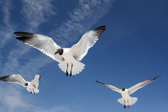 Sea gulls in flight stock image