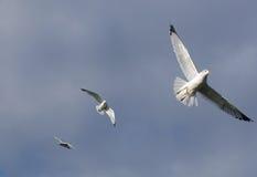 Sea gulls in flight. Three sea gullls in flight gracefully Stock Photography