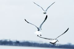 Sea gulls flying Royalty Free Stock Images