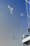 Sea gulls flying near the ferry. To texel royalty free stock images