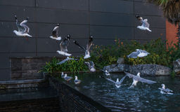 Sea gulls flying off after a bath Stock Photos