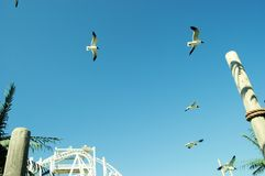Sea gulls flying. Over an amusement park Royalty Free Stock Photos