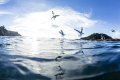 Sea Gulls. Flying over the water at Goat Island Marine Reserve, NZ Stock Photo