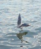 Sea gulls flying Royalty Free Stock Photos