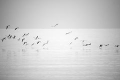 Sea gulls flying. View of sea gulls flying near water surface Royalty Free Stock Image