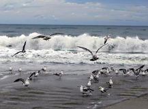 Sea Gulls Royalty Free Stock Photos