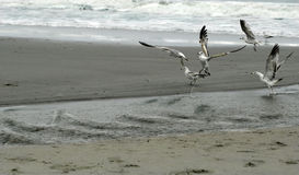 Sea Gulls. Flying at waters edge on beach Royalty Free Stock Photography