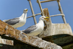 Sea gulls. On a grounded vessel watching out Royalty Free Stock Photography