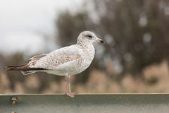 Sea Gulls on Guardrail. A sea gull stands atop a roadside guardrail Royalty Free Stock Photography