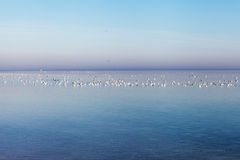 Sea gulls at gulf of Riga, Baltic sea. Royalty Free Stock Photos