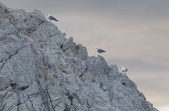 Sea gulls Royalty Free Stock Photo