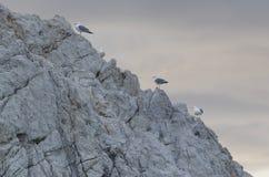 Sea gulls Royalty Free Stock Photo
