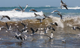 Living Seas with Gulls. Sea gulls hover over waves at Kommetjie, Cape Town Royalty Free Stock Photo