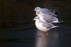 Sea gulls on ice Royalty Free Stock Image