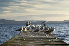 Sea gulls on jetty. Lake Rotoua, North Island, New Zealand Stock Photos