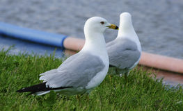 Sea gulls by the lake shore Stock Photography