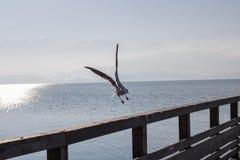 Sea gulls at lake Traunsee in Gmunden, Salzkammergut, Austria,eu Stock Photography