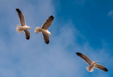 Sea Gulls Royalty Free Stock Images