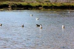 Sea Gulls Natural Bridges Beach California Royalty Free Stock Photos