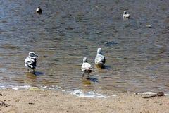 Sea Gulls Natural Bridges Beach California Royalty Free Stock Images