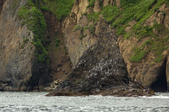 Sea gulls nest on the cliffs of Pacific Ocean. Royalty Free Stock Images