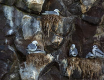 Sea gulls nest on the cliffs of Pacific Ocean. Royalty Free Stock Image