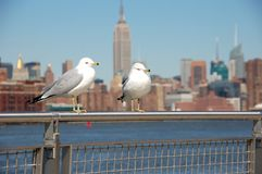 Sea Gulls of New York. Sea gulls in the front of the Empire State Building Royalty Free Stock Photography