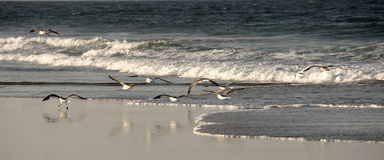 Sea Gulls in the Outerbanks North Carolina Stock Image