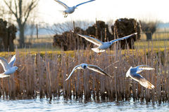 Sea gulls over the river stock photography