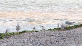 Sea Gulls Playing stock video footage
