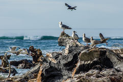 Sea gulls playing and feeding among driftwood Stock Image