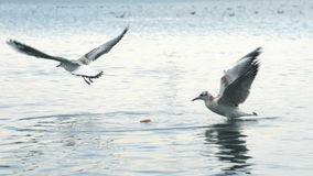 Sea gulls playing in shallow water stock video
