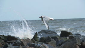 Sea gulls playing in shallow water stock video footage