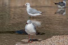 Sea Gulls. In puddle at the beach royalty free stock image