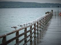Sea Gulls Stock Photo