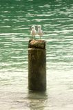 Sea Gulls rest on a tree stump, New Caledonia. Couple of sea gulls rest on a tree stump close to the beach. They are surrounded by turquoise water, New Caledonia stock photography