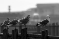 Sea gulls resting on a wooden fence Stock Image