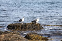 Sea gulls on rock. Seaweed covered rock and seagulls Stock Photos