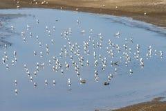 Sea Gulls at the Salton Sea Royalty Free Stock Images