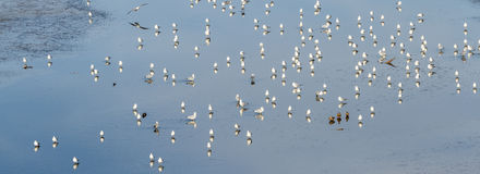 Sea Gulls at the Salton Sea Stock Photography