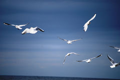 Sea-gulls at the sea Royalty Free Stock Image