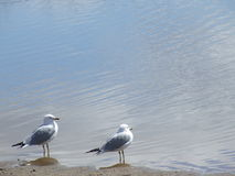 Sea Gulls by the Sea Royalty Free Stock Images