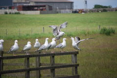 Sea gulls on separate parts of fence Stock Photography